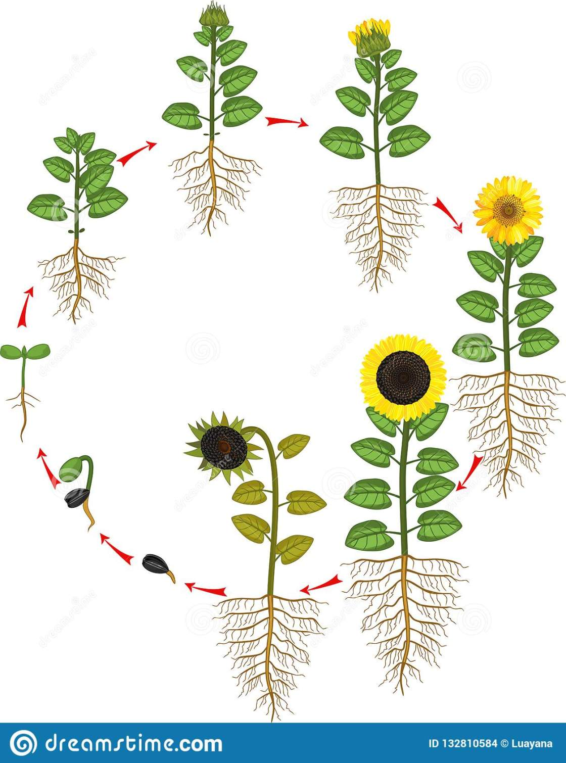 sunflower-life-cycle-growth-stages-seed-to-flowering-fruit-bearing-plant-root-system-sunflower-life-cycle-growth-132810584
